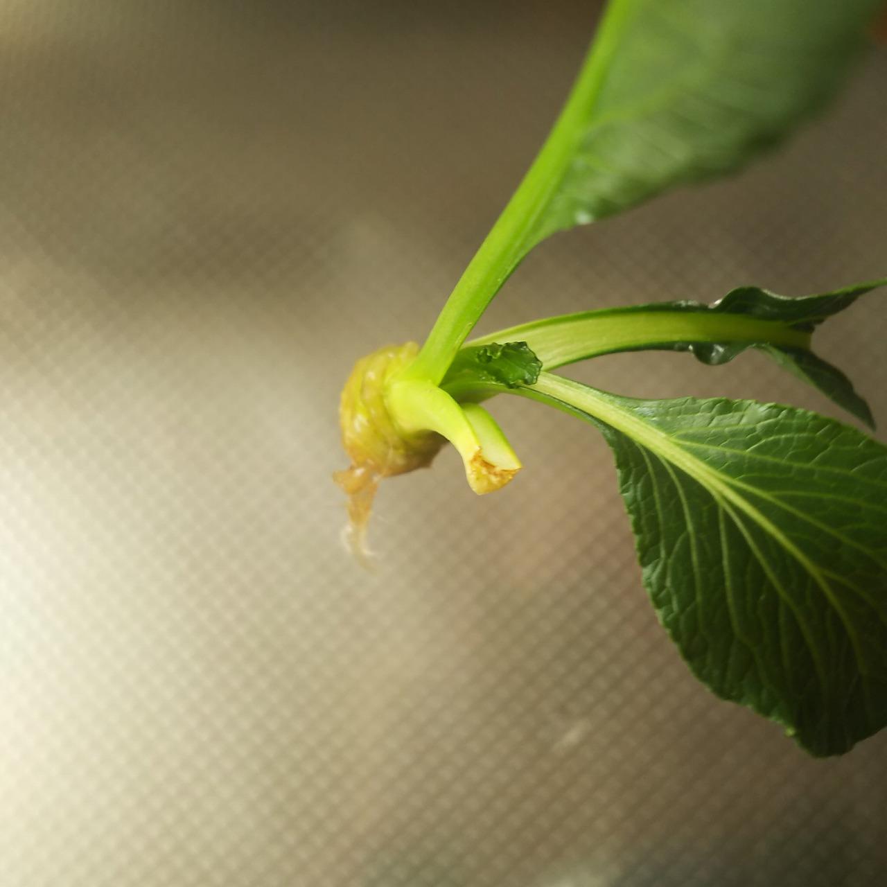 根も生えてきた小松菜