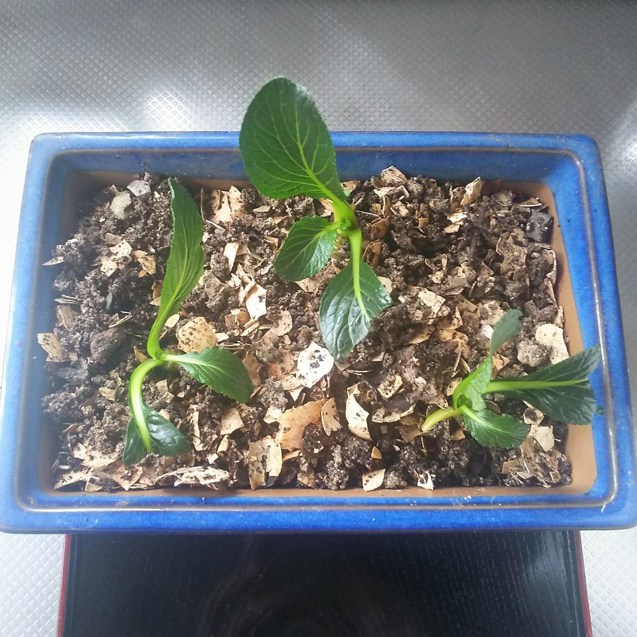土栽培した小松菜
