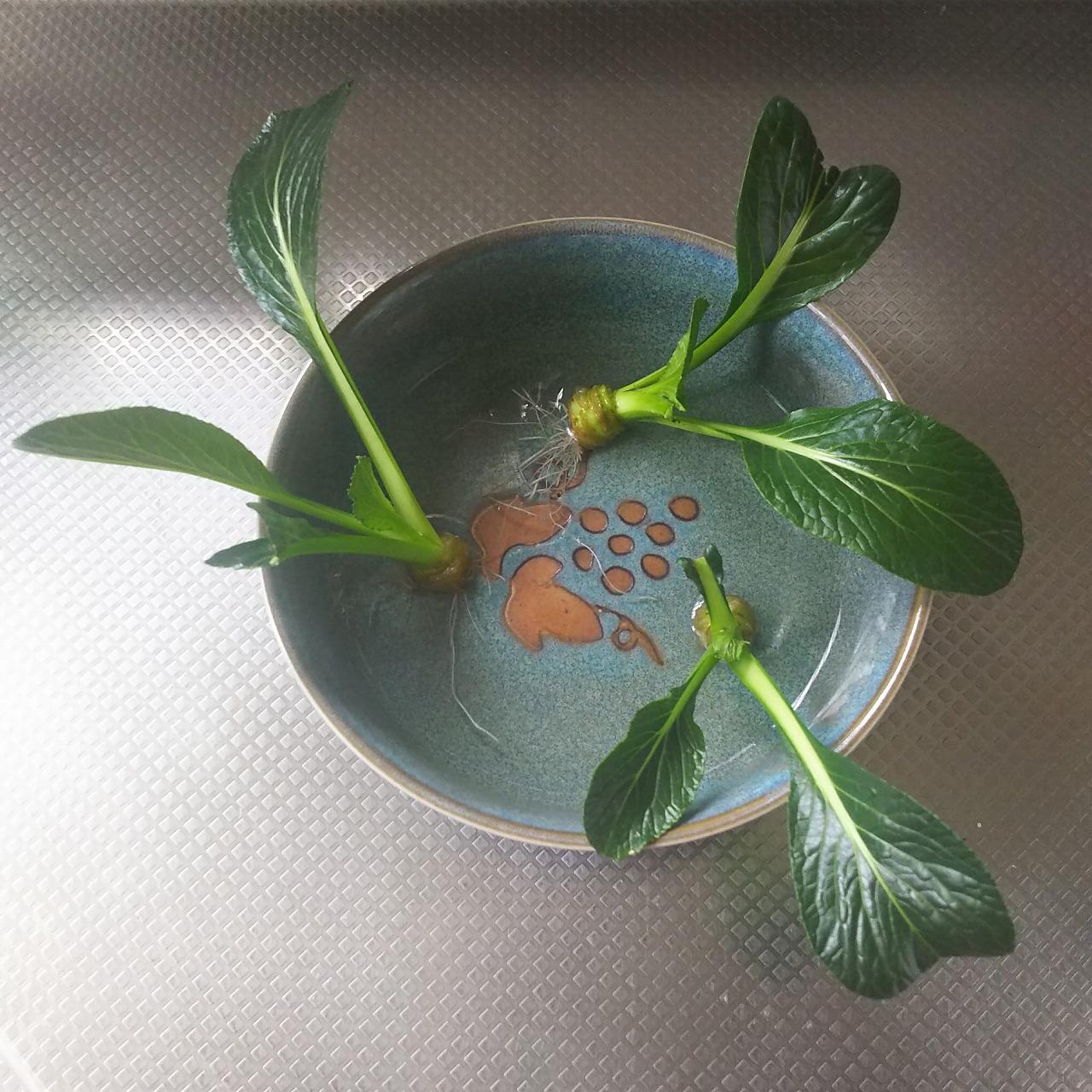 水耕栽培した小松菜